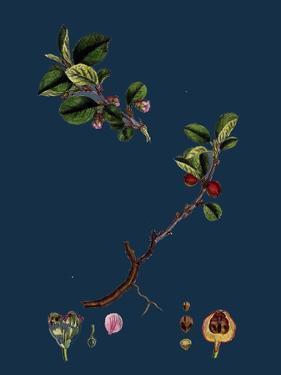 Rubus Radula; File-Stemmed Bramble