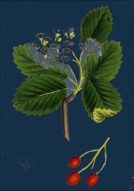 Rubus Suberectus; Suberect Bramble