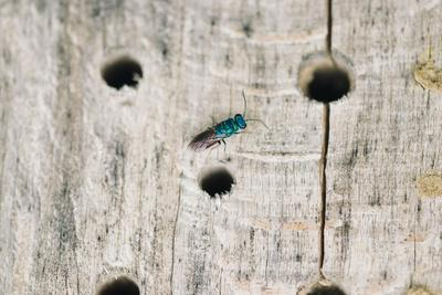 https://imgc.allpostersimages.com/img/posters/ruby-tailed-wasp-in-the-insect-hotel_u-L-Q1EXPCD0.jpg?artPerspective=n
