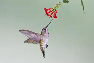 https://imgc.allpostersimages.com/img/posters/ruby-throated-hummingbird-archilochus-colubris-feeding-texas-usa_u-L-PN6QKK0.jpg?p=0