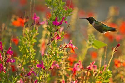 https://imgc.allpostersimages.com/img/posters/ruby-throated-hummingbird-archilochus-colubris-feeding-texas-usa_u-L-PN6QN20.jpg?p=0