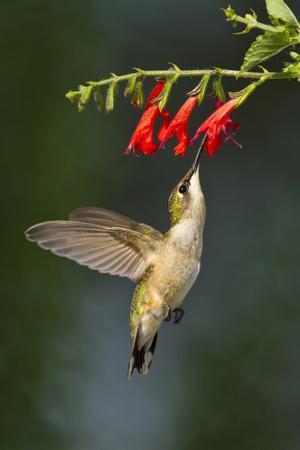 https://imgc.allpostersimages.com/img/posters/ruby-throated-hummingbird-archilochus-colubris-feeding-texas-usa_u-L-PN6QNH0.jpg?p=0