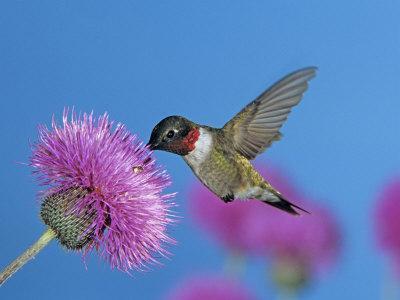 https://imgc.allpostersimages.com/img/posters/ruby-throated-hummingbird-feeding-from-flower-usa_u-L-Q10O1CV0.jpg?p=0