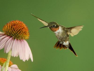https://imgc.allpostersimages.com/img/posters/ruby-throated-hummingbird-male-feeding-on-purple-coneflower-new-braunfels-texas-usa_u-L-Q10NZEO0.jpg?artPerspective=n