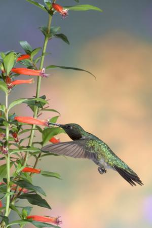 https://imgc.allpostersimages.com/img/posters/ruby-throated-hummingbird-male-on-cigar-plant-marion-county-illinois_u-L-Q12T77W0.jpg?p=0