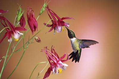 https://imgc.allpostersimages.com/img/posters/ruby-throated-hummingbird-male-on-crimson-star-columbine-illinois_u-L-Q12T7990.jpg?p=0