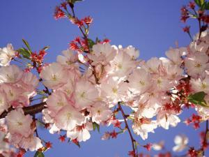 Cherry Blossom by Rudi Von Briel