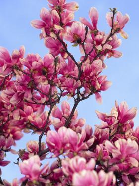 Magnolia Blossoms, Central Park, NY by Rudi Von Briel