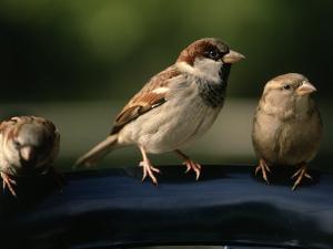 Sparrows, Central Park, NYC by Rudi Von Briel