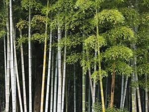 Bamboo Forest in Sagano by Rudy Sulgan