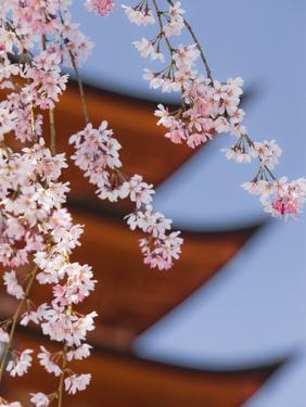 Cherry Blossoms at Itsukushima Jinja Shrine by Rudy Sulgan