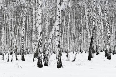Birch Forest by rufar