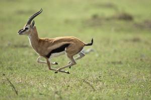 Running Thomson's Gazelle