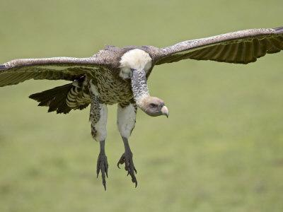 https://imgc.allpostersimages.com/img/posters/ruppell-s-griffon-vulture-on-final-approach-serengeti-national-park-tanzania-east-africa_u-L-P7NLB40.jpg?p=0