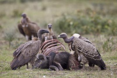 https://imgc.allpostersimages.com/img/posters/ruppells-griffon-vulture-gyps-rueppellii-adult-and-immature-at-a-wildebeest-carcass_u-L-PWFI7N0.jpg?p=0