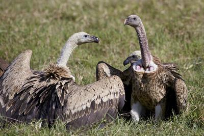 https://imgc.allpostersimages.com/img/posters/ruppells-griffon-vultures-gyps-rueppellii-ngorongoro-crater-tanzania-east-africa-africa_u-L-PWFGS30.jpg?p=0