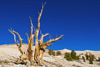 Ancient Bristlecone Pines in the Patriarch Grove, White Mountains, California, USA by Russ Bishop