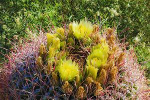 Barrel cactus in bloom, Anza-Borrego Desert State Park, California, USA by Russ Bishop