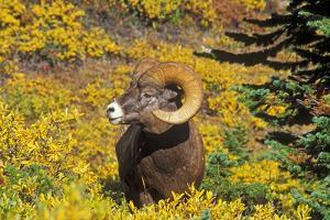 Bighorn ram on Wilcox Ridge, Jasper National Park, Alberta, Canada. by Russ Bishop