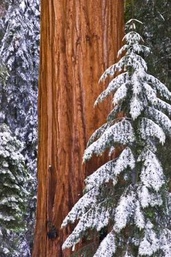 California, Giant Sequoia in Winter, Giant Forest, Sequoia National Park by Russ Bishop