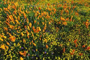 California Poppies and Goldfield, Antelope Valley, California, USA. by Russ Bishop