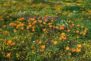 California Poppies Owl's Clover and Goldfield, Antelope Valley, California, USA. by Russ Bishop
