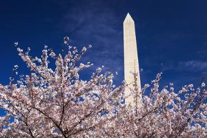 Cherry blossoms under the Washington Monument, Washington DC, USA by Russ Bishop