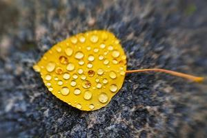 Fall Aspen Leaf Detail, Inyo National Forest, Sierra Nevada Mountains, California, Usa by Russ Bishop