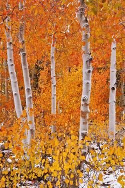Fresh snow on fall aspens along Bishop Creek, Inyo NF, Sierra Nevada Mountains, California by Russ Bishop