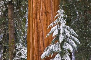 Giant Sequoia in winter, Giant Forest, Sequoia National Park, California, USA by Russ Bishop