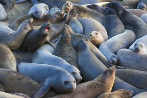 Northern elephant seals at Piedras Blancas Elephant Seal Rookery, San Simeon, California, USA by Russ Bishop