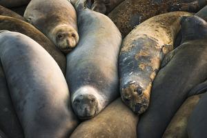 Northern elephant seals at Piedras Blancas elephant seal rookery, San Simeon, California, USA by Russ Bishop