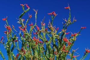 Ocotillo in the Coyote Mountains, Anza-Borrego Desert State Park, California, USA by Russ Bishop