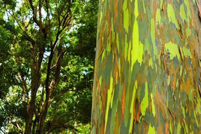 Rainbow Eucalyptus bark, Mindanao Gum, Island of Kauai, Hawaii, USA by Russ Bishop