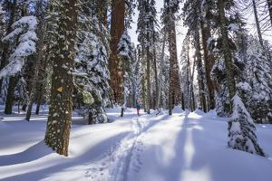 Skier in the Giant Forest, Sequoia National Park, California, USA. by Russ Bishop