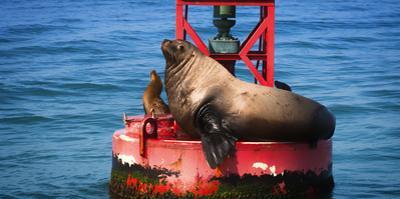 Steller sea lion, Eumetopias Jubatus, on harbor buoy, Ventura, California, USA by Russ Bishop