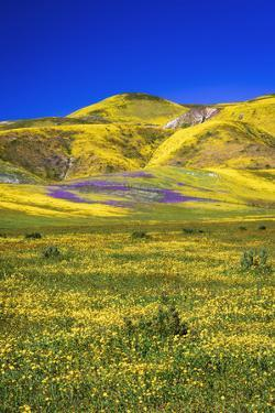 Wildflowers in the Temblor Range, Carrizo Plain National Monument, California, USA. by Russ Bishop