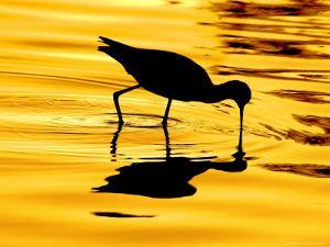 Avocet Silhouette at Sunrise by Russell Burden