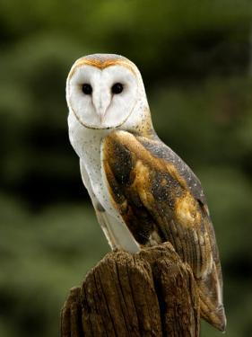 Barn Owl on Stump by Russell Burden