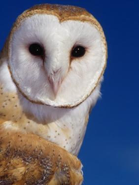 Barn Owl by Russell Burden