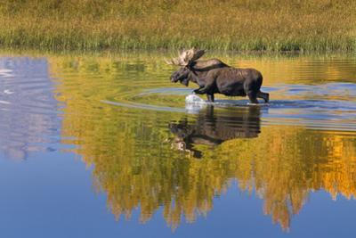 Bull Moose in Grand Teton NP in Autumn