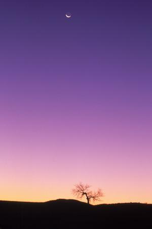 Cottonwood Tree at Dusk w/ Moon