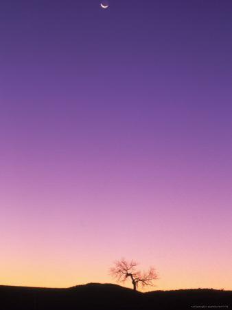Cottonwood Tree at Dusk with Moon
