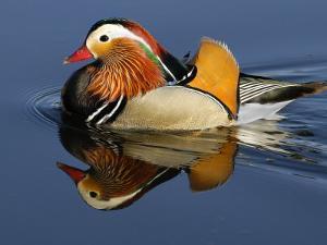 Mandarin Duck Swimming by Russell Burden
