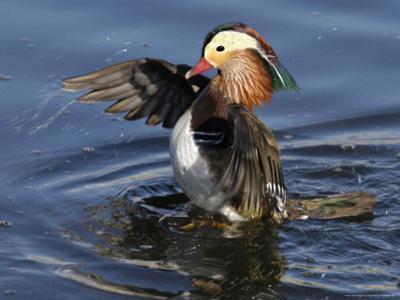 Mandarin Duck Wing Flapping