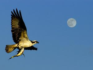 Osprey in Flight with Fish in Talon by Russell Burden