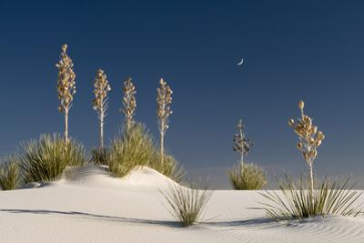 Yucca in White Sands National Monument