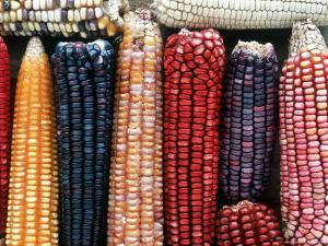 Varieties of Corn that Lacandons Grow in Their Milpas, Selva Lacandona, Naha, Chiapas, Mexico by Russell Gordon