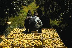 Hauling Crates of Peaches by Russell Lee