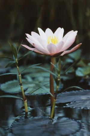 Myanmar, Close-Up View of Water Lily at Inle Lake by Russell Young